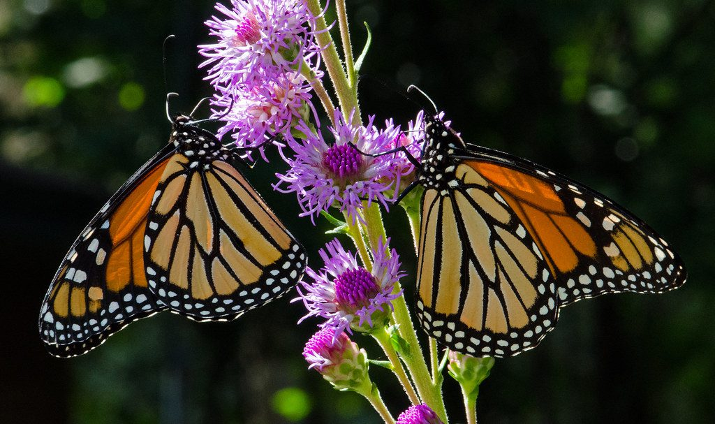 The migration of monarchs has been disrupted